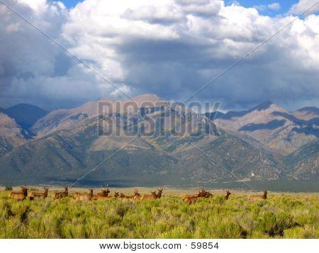 Mountian Elk
