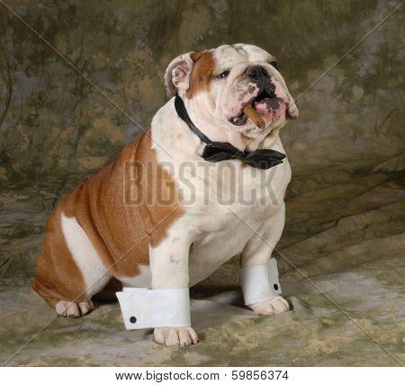 dog smoking cigar on green background - english bulldog
