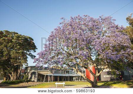 Purple Bloom of jacaranda tree in summer.