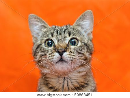 Muzzle Of Tabby Cat