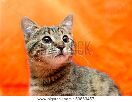 Closer Look Of Frightened Tabby Cat