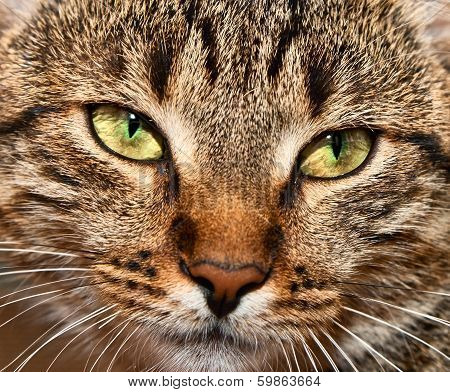 Portrait Of Yellow-eyed Tabby Cat