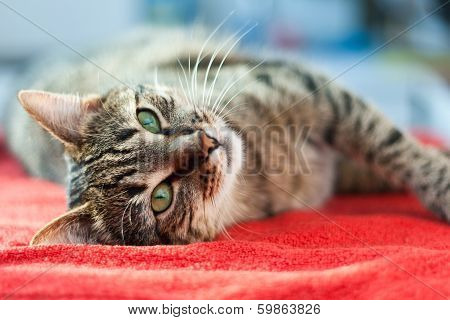 Cat Relax On Red
