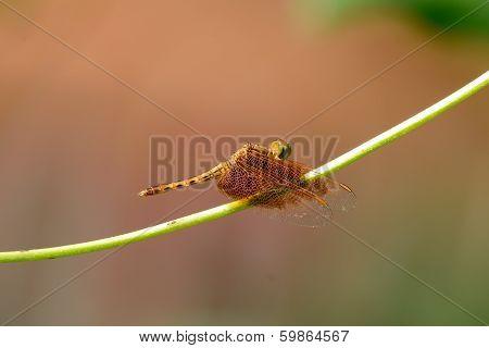 Female Fulvous Forest Skimmer (neurothemis Fulvia)
