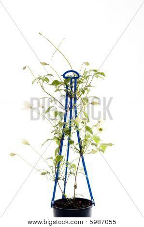 Clematis Climbing Plant