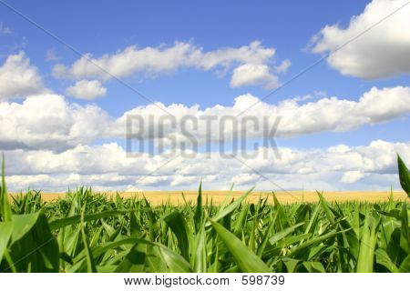 Green Cornfield, Golden Wheat Field, Blue Skies