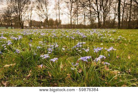 Purple flowering Scilla plants growing between grass