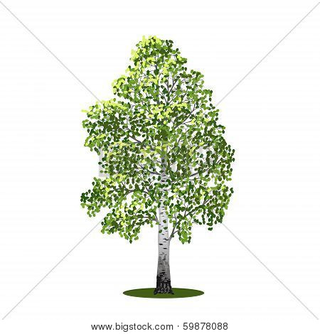 Detached Tree Birch With Leaves, Vector Illustrations