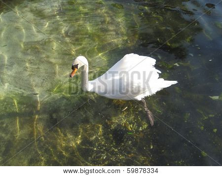 Superb swan swimming in a pond