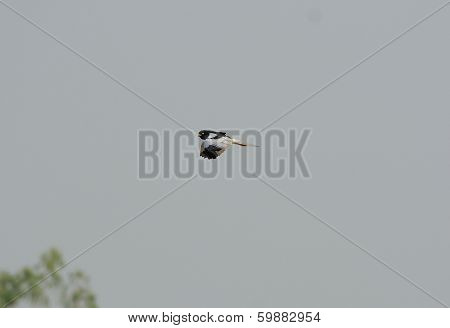 Male Pied Harrier (circus Melanoleucos)
