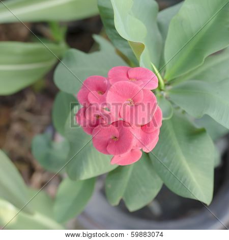 Beautiful Euphorbia Milli Desmoul