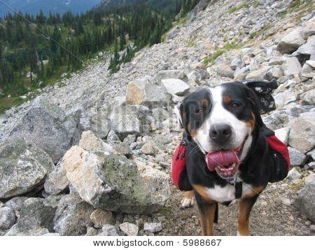 Hiking Dog