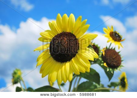 Sunflowers In Full Bloom.