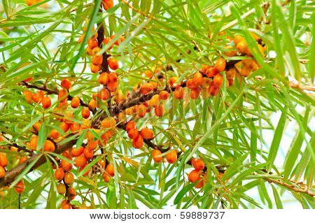 Ripe Sea-buckthorn Berries On Branch