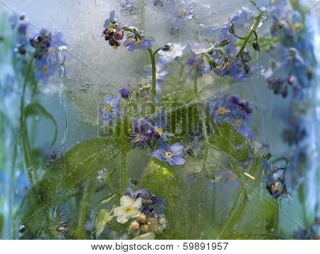 Background Of   Forget-me-not Flower Frozen In Ice