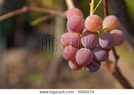 Vine Grape Rose