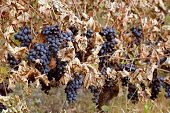 Background of ripe grapes Moldova with dry leaves