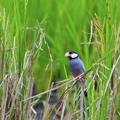stock photo of java sparrow  - Colorful Java Sparrow bird (Lonchura oryzivora) standing on a rice branch in the rice field