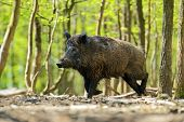 image of wild hog  - Wild boar in their natural habitat in the spring