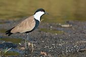 Spur-winged Plover (vanellus Spinosus) Cocking His Head