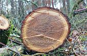 pic of beheading  - stump of tree felled  - JPG