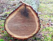 image of beheaded  - stump of tree felled  - JPG
