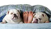 stock photo of licking  - two english bulldogs in bed with owner - JPG