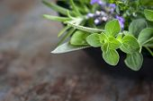 image of oregano  - Herbs still life - JPG