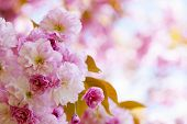 foto of orchard  - Pink cherry blossom flowers on flowering tree branch blooming in spring orchard with copy space - JPG