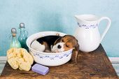 Sleepy seven weeks old little beagle puppy lying in a vintage washtub