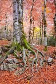 Autumn beech fall forest in Pyrenees Valle de Ordesa Huesca Spain