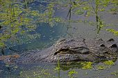 Alligator Floating In A Pond