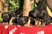 image of border terrier  - Group of adorable puppies of border terrier on red blanket - JPG