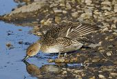 stock photo of pintail  - Pintail - Anas acuta