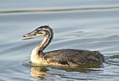 picture of great crested grebe  - Great Crested Grebe in its natural habitat - JPG