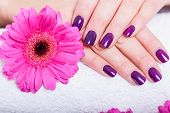 picture of gerbera daisy  - Woman with beautiful manicured nails covered with modern purple nail varnish enamel or lacquer displaying her fingers alongside a pink gerbera daisy - JPG
