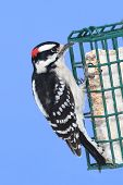 stock photo of woodpecker  - Downy Woodpecker  - JPG