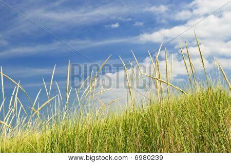 Tall Grass On Sand Dunes