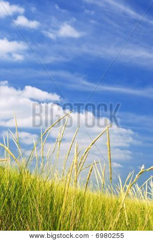 hohe Gras auf Sanddünen