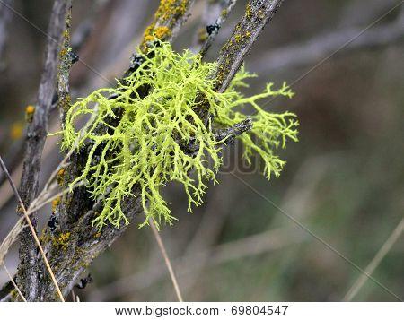 Wolf Lichen on Sagebrush