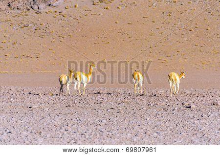 Vicunas - Bolivia, Antiplano