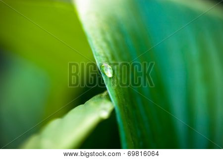 Dew Drop On Hosta Green Leaf
