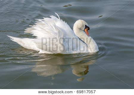 White Swan Spread Feather On River