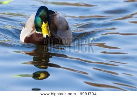Mallard Duck Male On Water