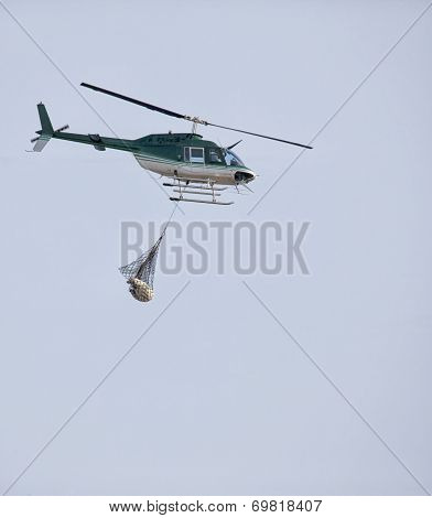 helicopter transports a polar bear