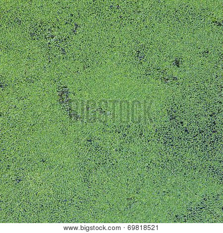 green duckweed covered on the water surface