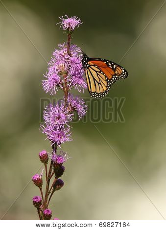 Monarch Butterfly On Meadow Blazingstar