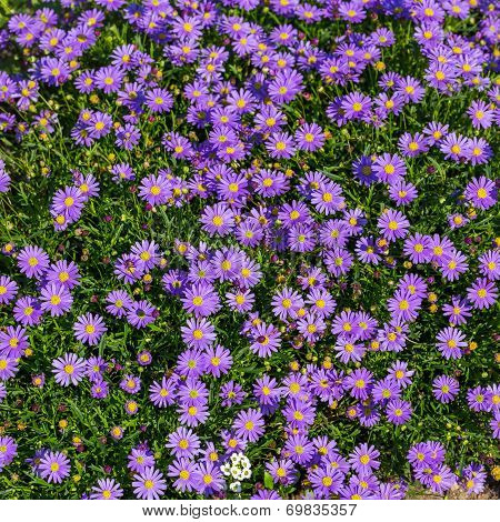 Blooming Alpine Asters - Aster Alpinus