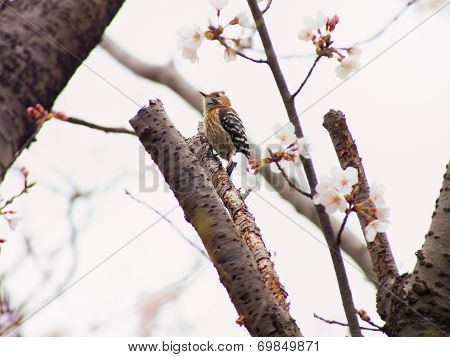 Yoshino cherry tree blossoms and a pygmy woodpecker (Dendrocopos kizuki)