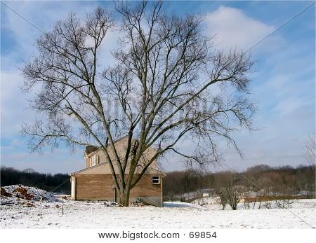 One Huge Tree Dwarfs A House